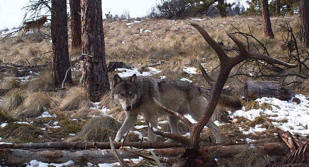 This trail cam photo showing two gray wolves near an elk carcass enabled Washington wildlife officials to confirm the Wenatchee Pack. The camera was put out by hunting guide Stuart Hurd in March 2013. Courtesy photo.