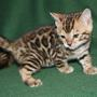 Police: Six Bengal cats stolen from breeder's home in Pasco