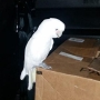 Car-surfing cockatoo safely returned to owner in Seattle