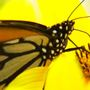 Volunteers plant flowers for butterflies, bees in Black Mountain
