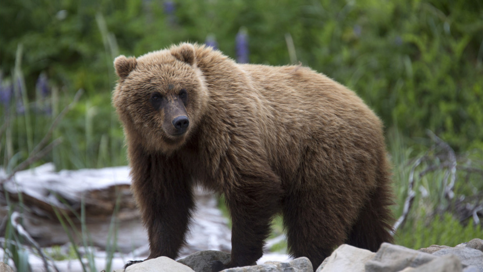 Montana Community Moves Forward With Plans For A Tiny: Zinke Supports Restoration Of Grizzlies In North Cascades