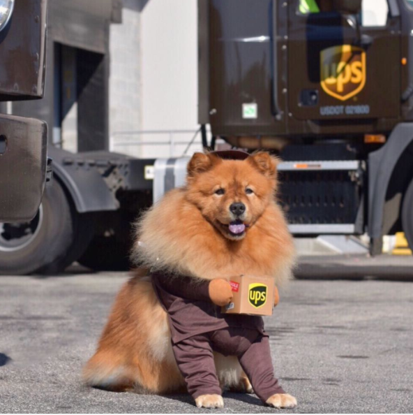 IMAGE: IG user @izzy_the_chow/ POST:{ }Izzy infiltrated the UPS warehouse dressed in a VERY clever disguise. Her mission? Destroy any packages containing Halloween costumes for dogs