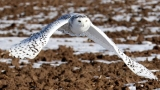 PHOTOS & VIDEOS | Snowy owls in Northeast Wisconsin