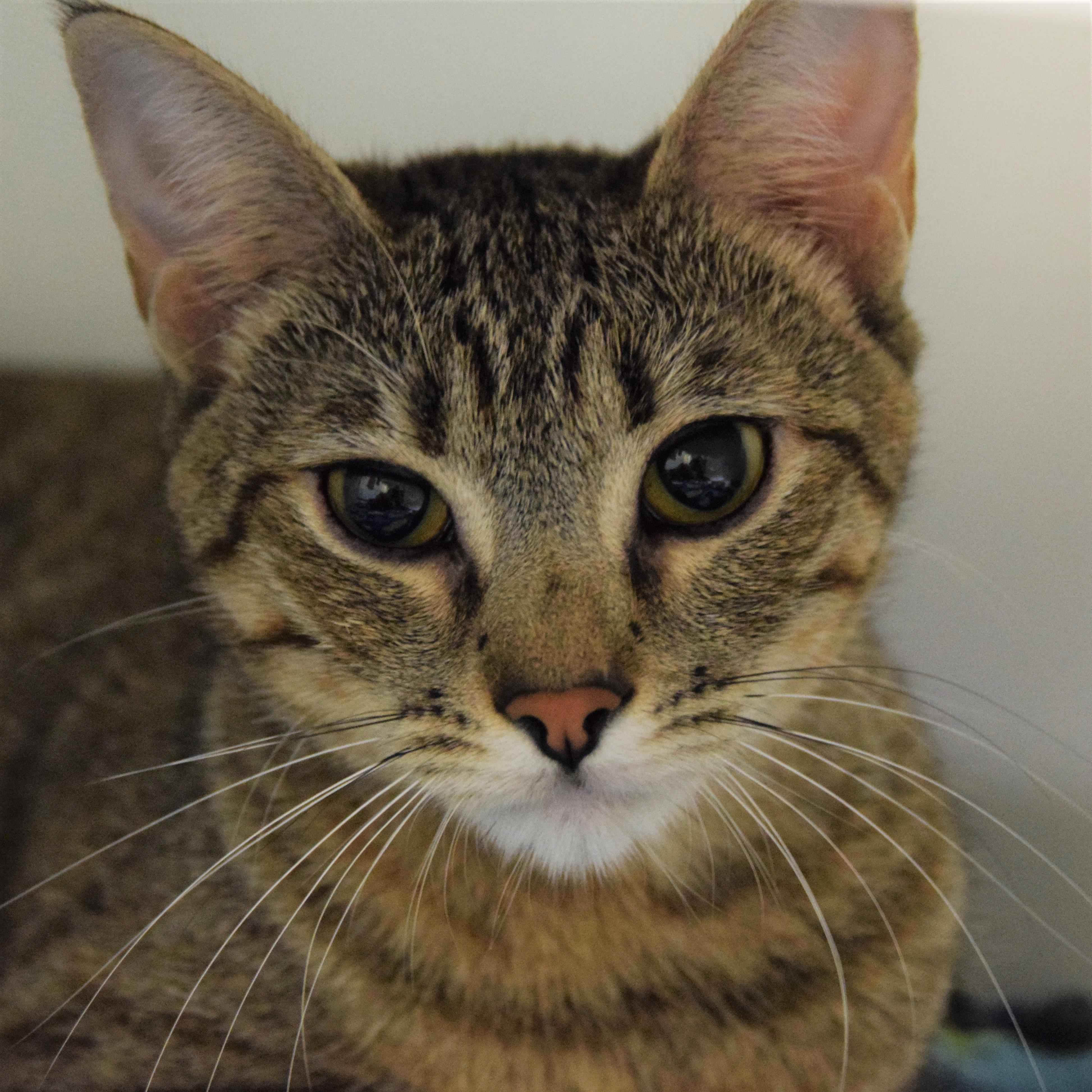 Hello, my name is Betty - I'm a lovely two year old brown tabby girl with sweet eyes. I've lived well with other kitties before, but dogs make me quite nervous. I'd love to join your quieter household with older kids so I have some space and time to settle into our new life together!