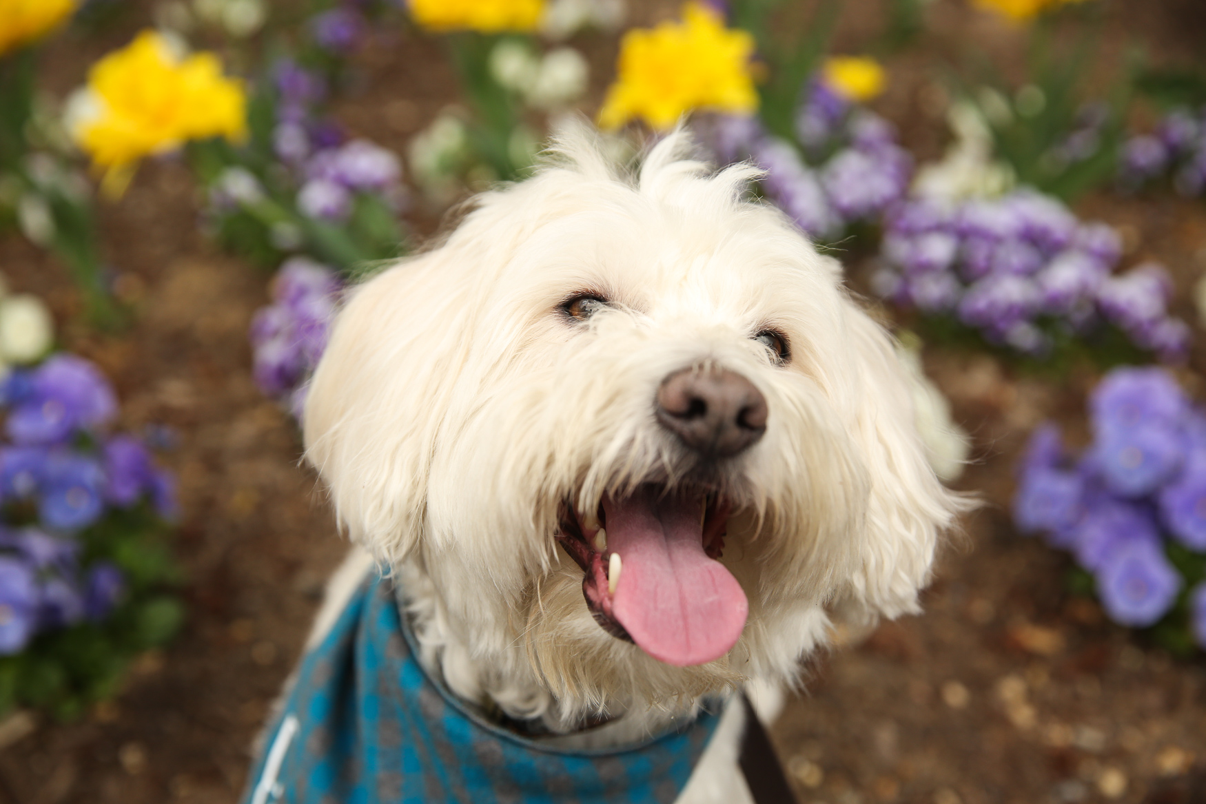 "Meet Finn, a 5-year-old Lhaeskimoshdoodle... say what now?? Everyone always asks what breed Finn is so his pawrents did a doggy DNA test and found he is a Mini Poodle, American Eskimo,Lhasa Apso, Shih Tzu, Mini Schnauzer and Swiss White Shepherd mix -- what a mouthful! Finn came to live with his family 3.5 years ago from a rescue group called Homeward Trails. ""We saw his sad, overgrown, matted picture online and fell in love with his face,"" said Finn's mom. ""We went to look at him, but he was at a foster, so we looked at a couple of other dogs and nothing really clicked. When we were leaving, his foster mom happened to stop in to get meds for him and the rest is history."" Finn loves his ball, treats, belly rubs, meeting anyone and everyone, hiking, French fries and road trips. He's not a fan of the dishwasher or washing machine, hot weather, lobster pounds and loud noises in general. Finn is also a big Nats fan, and loves going to Pups in the Park night! He sits in his seat and watches the game the entire time! If you're interested in having your pup featured, drop us a line at aandrade@dcrefined.com, but we do have quite the waiting list right now so we appreciate your patience! (Image: Amanda Andrade-Rhoades/DC Refined)"