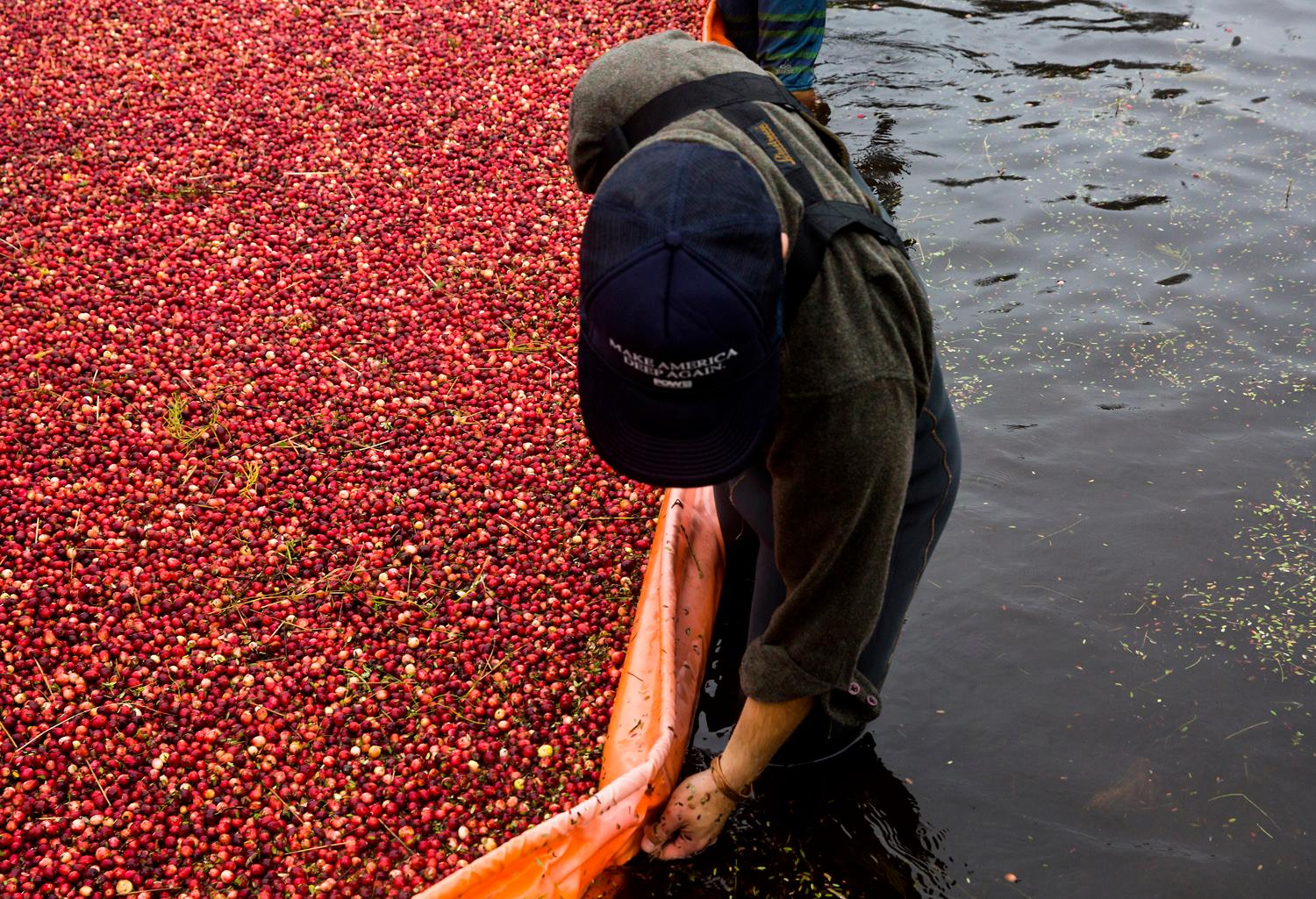 Workers and volunteers corral the floating cranberries with a floating boom and metal rakes during the annual harvest at Starvation Alley Farms. (Sy Bean / Seattle Refined)