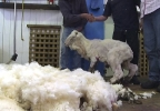 In this image made from video, Shaun the shaggy Australian sheep stands after being shorn in Midlands, Australia, Thursday, Aug. 28, 2014. Shaun received his haircut for the first time in years Thursday, losing 23.5 kilograms (52 pounds) of wool but fleece failed to break record. (AP Photo/AuBC via AP Video)
