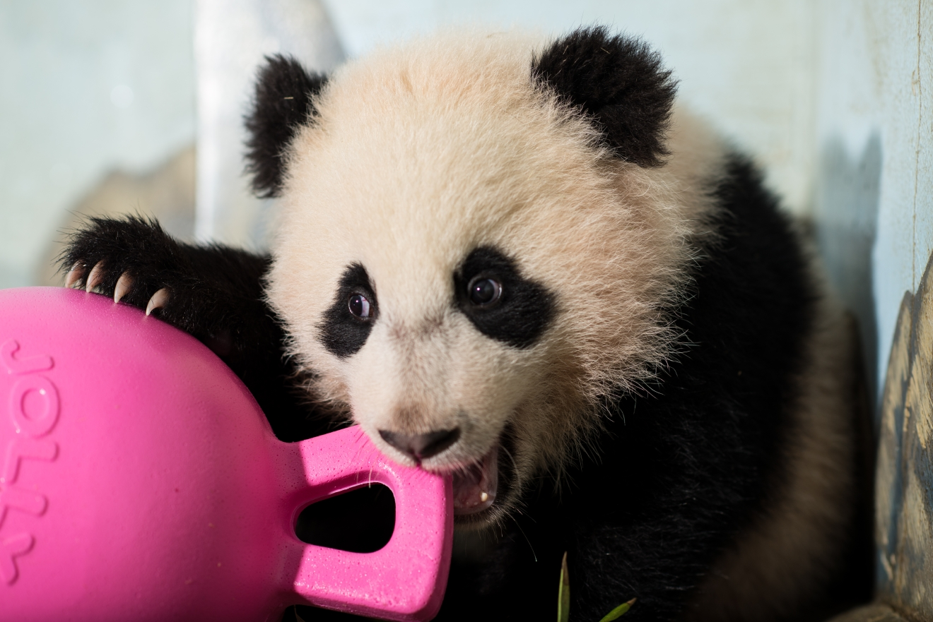 If there's anything that will unite all of D.C. it's our love for these fuzzy, tumbling, bamboo-loving little cuties! To celebrate the greatest national day we have heard of yet -- and yes, that's totally an objective opinion -- we rounded up a few of our favorite photos we've amassed of D.C.'s First (Panda) Family: Tian Tian, Mei Xiang, Bao Bao (WE MISS YOU!) and little Bei Bei! We hear there could be another panda cub in the future (Mei Xiang was artificially inseminated earlier this month), so stay tuned and enjoy! (Image: Courtesy Connor Mallon/ Smithsonian's National Zoo)