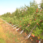 Strong winds knock over apple trees at Abbott Farms